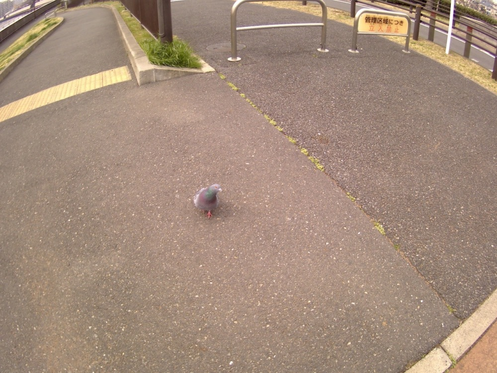 Elephone explorer xで撮影した鳩
