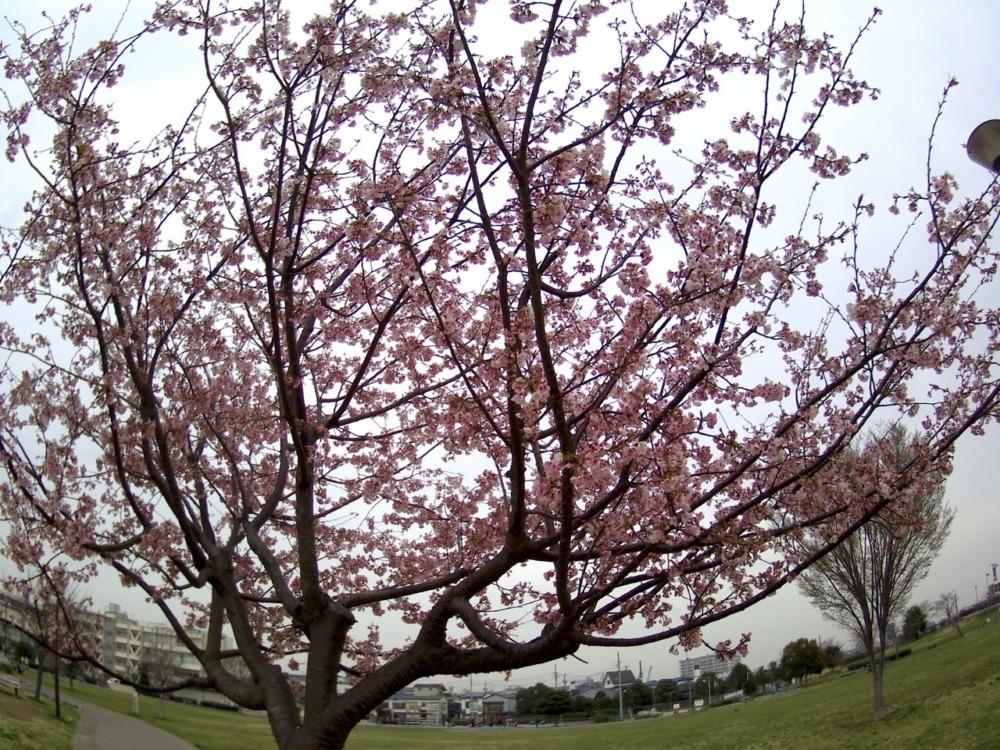 Elephone explorer xで撮影した桜